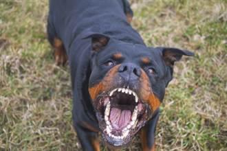 羅威那犬咬死剛出生嬰兒!竟拖到院子「挖土埋屍」 母崩潰痛哭