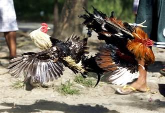 突襲非法鬥雞 警竟慘死公雞雞腳下