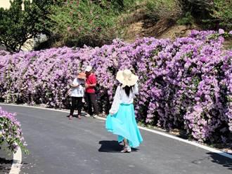 通霄蒜香藤花牆祕境  浪漫紫色花徑爆紅