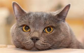 愛貓藍毛又愛叫取名「藍叫」 醫生開口飼主羞了