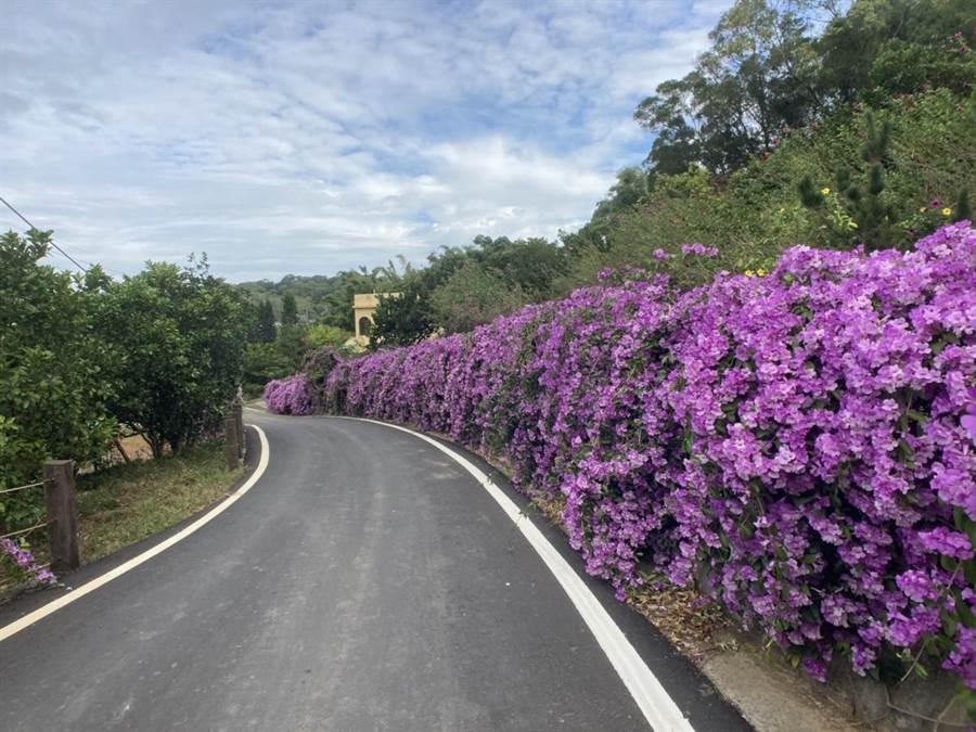 溫姓人家在住家外農路旁種植蒜香藤,今年秋季花況極佳,浪漫紫色花徑在網路上爆紅。(張文煥提供/巫靜婷苗栗傳真)