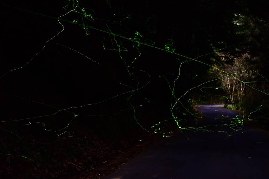 秋冬季節時,鋸角雪螢在杉林溪現身。(杉林溪森林生態渡假園區提供/廖志晃南投傳真)