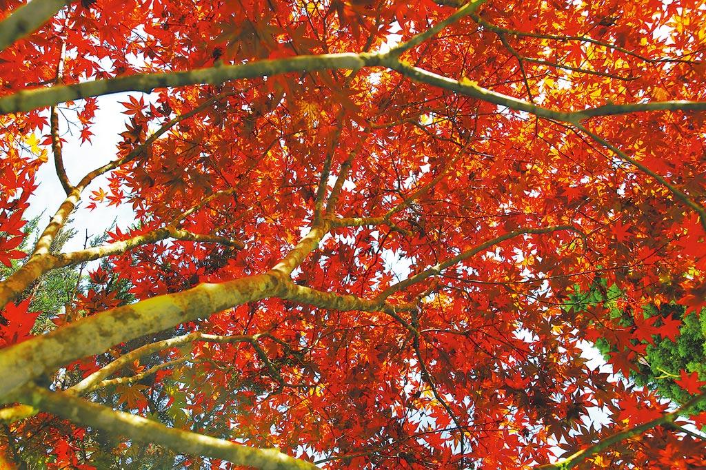 杉林溪的楓葉,已經轉紅了!(杉林溪森林生態渡假園區提供/廖志晃南投傳真)