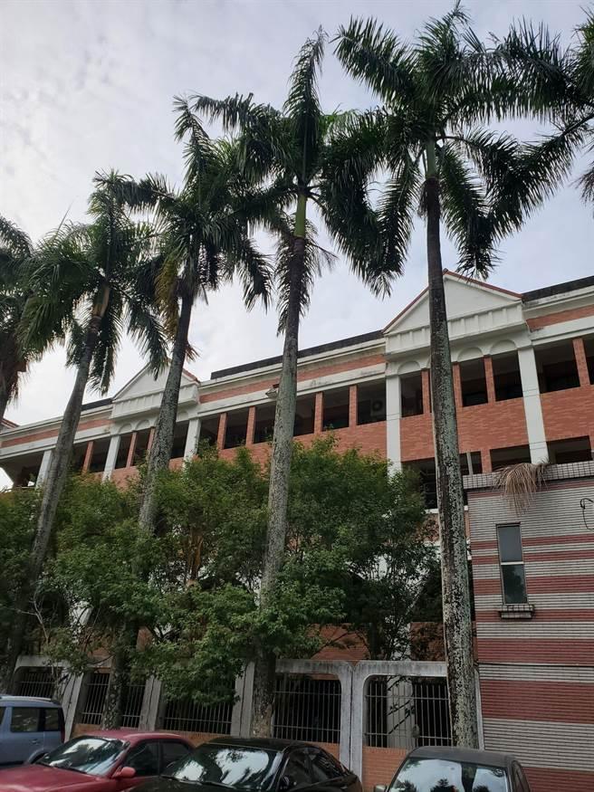 日前波蘿蜜猴群的猴王就站在校門口前第一棵椰子樹上指揮。(周麗蘭攝)