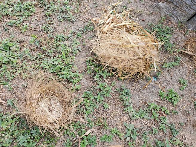 台灣獼猴連樹上的鳥巢都扯下來吃掉鳥蛋。(周麗蘭攝)