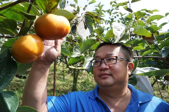 摩天嶺柿農黃光琦種植的甜柿品質、脆度及色澤鮮艷度,均媲美日本原產地。(王文吉攝)