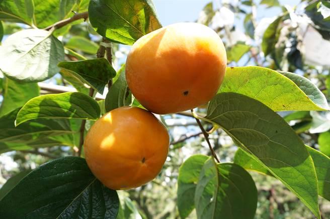 日本甜柿引進台灣後,最早在台中市和平區摩天嶺推廣種植。。(王文吉攝)