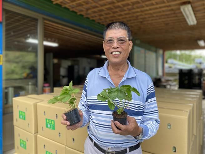 大湖莓農范銹龍被譽為草莓神農,培育數萬草莓苗,為求進步,年逾花甲,他依然考取台大生傳EMBA拚碩士學位。(巫靜婷攝)
