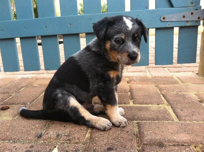 混種澳洲牧羊犬原本是黑色,豈料養了3年竟開始褪色(示意圖/達志影像)