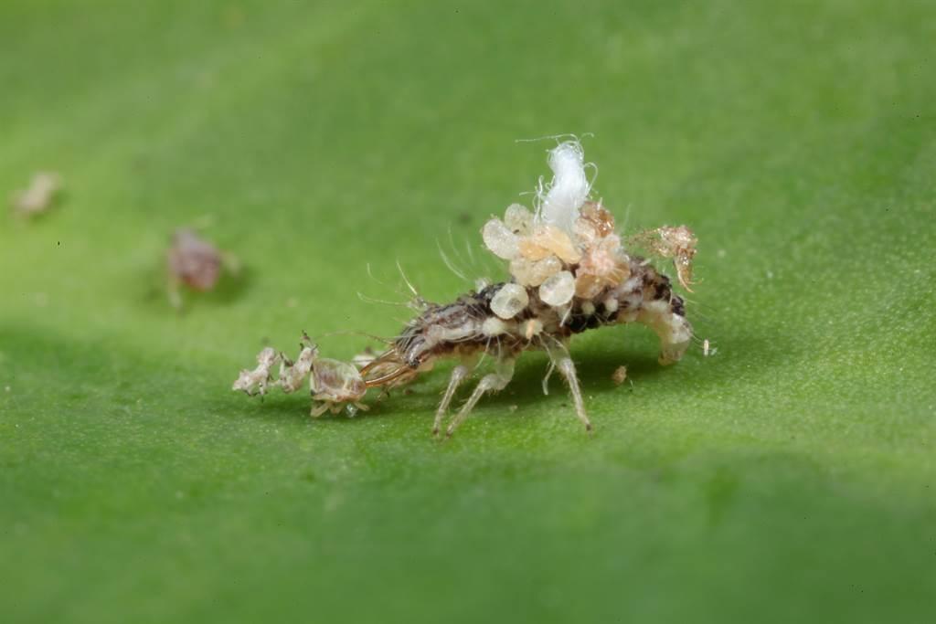 天敵昆蟲「基徵草蛉」幼蟲會捕食蚜蟲、粉蝨、木蝨、葉蟎及介殼蟲等農業小型害蟲。(苗栗農改場提供/巫靜婷苗栗傳真)