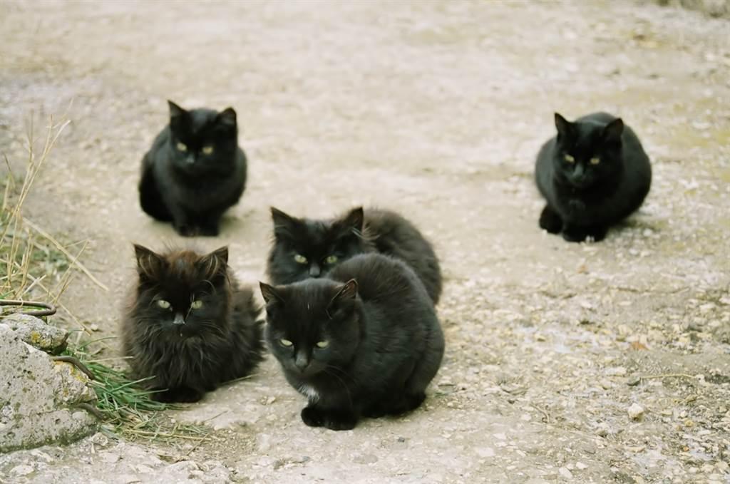 流浪黑貓帶小貓一起來討食,由於其中5隻與媽媽長得幾乎一樣,彷彿是複製的(示意圖/達志影像)