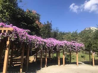 鶯歌永吉公園紫鈴藤盛開 花海遍佈超療癒