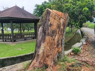 棲地不夠 龍潭三坑公園苦楝樹急救數月仍枯死