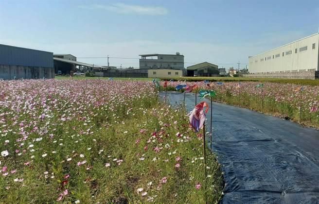 梧棲區農會運用上千面鳳凰旗、鯉魚旗,結合3大區壯觀花田,打造豐富多彩異國地景藝術,目前正在緊鑼密鼓佈置中。(陳淑娥攝)