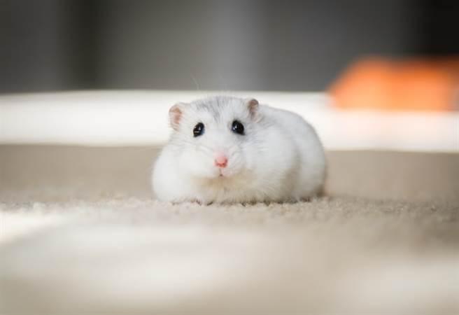 倉鼠毛絨絨的小小一球相當可愛。(取自網路)