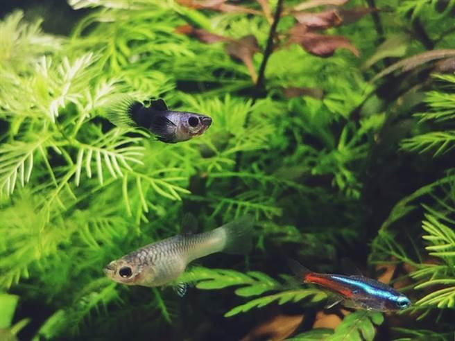 觀賞魚觀賞魚種類多、色彩好看、價格親民。(取自網路)