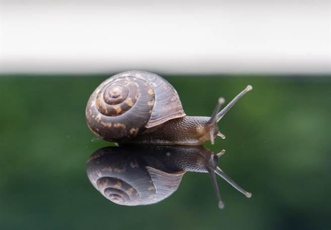 蝸牛可以說是零成本寵物。(取自網路)