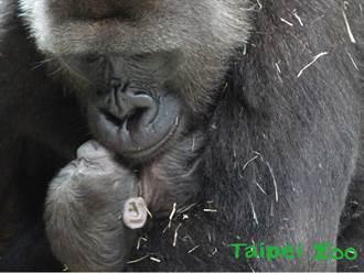 「台荷聯姻」金剛猩猩喜獲新生兒 寶寶窩媽懷中吸母乳