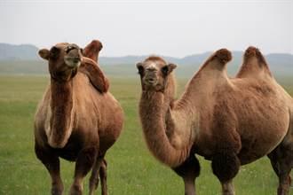 逛野生動物園遇2駱駝打架 下秒「雙峰猛撞」慘噴2.2萬