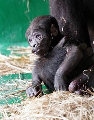 動物園再傳喜訊!「台荷聯姻」金剛猩猩喜獲新生兒