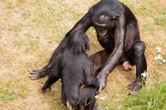 研究指出,猩猩不單單為了繁衍才「情慾流動」,而是因為「爽」才發生「超友誼關係」。(示意圖/shutterstock)