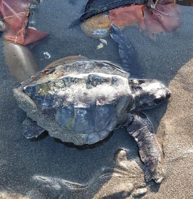 1隻「欖蠵龜」被殘破的飼料袋尼龍鬚鬚纏繞而擱淺,所幸市府海岸工程處海岸巡護隊巡邏發現。(海口里長鄭清木提供/賴佑維桃園傳真)