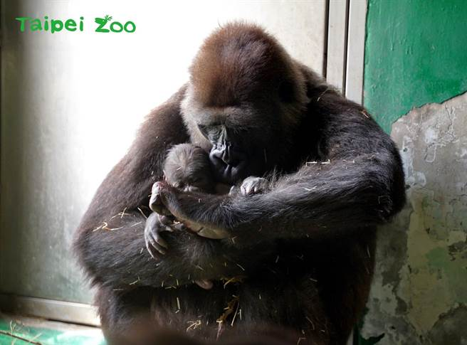 金剛猩猩「Tayari」順利產下寶寶,剛當媽的牠捨不得與孩子分開(圖/臺北市立動物園提供)