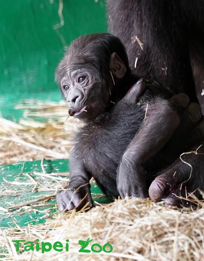金剛猩猩「Tayari」的寶寶(圖/臺北市立動物園提供)