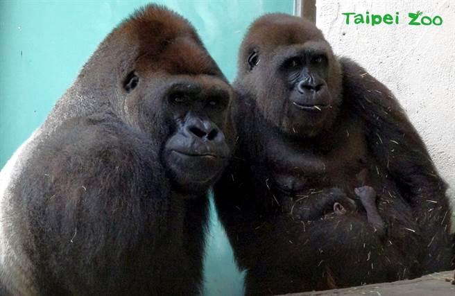 迪亞哥、Tayari與新生兒合影(圖/臺北市立動物園提供)