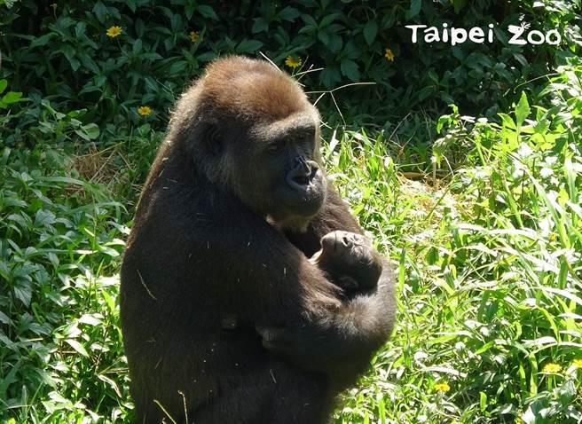 Tayari的眼神中,滿滿都是母愛(圖/臺北市立動物園提供)