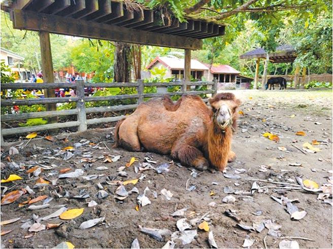 台北市立動物園動物死亡率年年攀新高,市議員楊靜宇前往動物園現勘發現雙峰駱駝因為飼育環境不良,導致發炎、發膿病變。(台北市議員楊靜宇研究室提供/張立勳台北傳真)