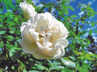 走訪臺北玫瑰園 享受鳥語花香品味玫瑰人生