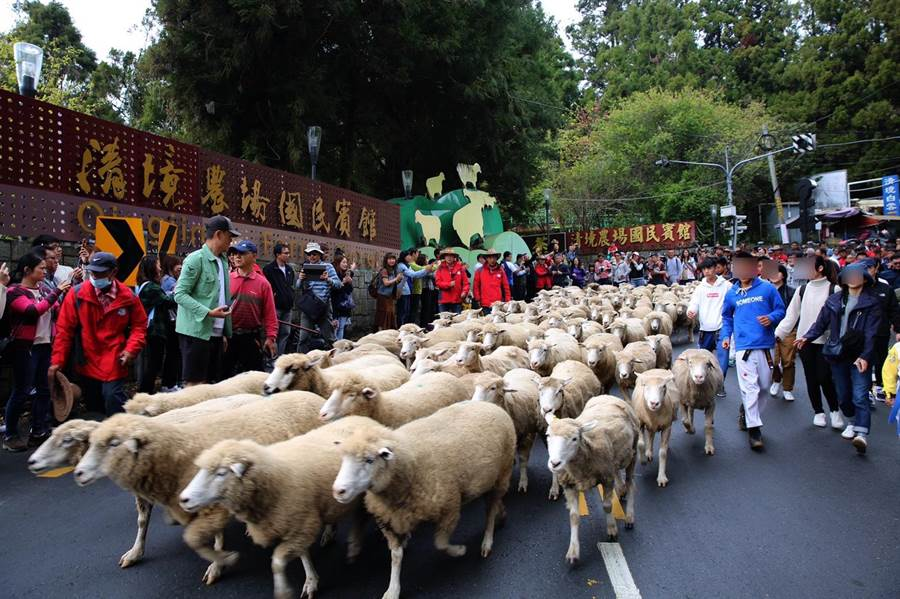 櫻花季前來趟「奔羊節」 清境農場慶60週年將盛大舉辦