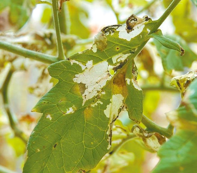 國內近期發現有番茄潛旋蛾入侵危害作物案例。(新竹市府提供/陳育賢新竹傳真)