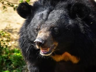 黑熊硬扯動物園員工緊貼籠子上 突衝撞尖棍穿肺慘死