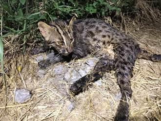 母石虎覓食疑遭二次毒殺 癱軟地面緊急送醫