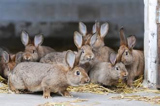 兔子好恐怖 狂生寶寶多到爆 社區被佔領居民崩潰
