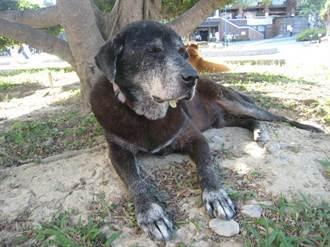 浪犬太醜沒人領養 溜進校園守護師生18年離世 狗群反應太揪心