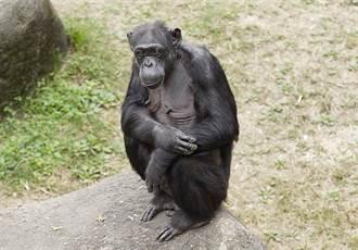 黑猩猩「阿美」享年51歲 家族地位高不可攀