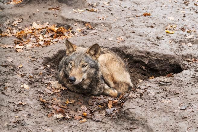 垃圾坑中傳出啜泣聲,沒想到竟是一隻小狐狸,獲救後緊跟著恩人(示意圖/達志影像)