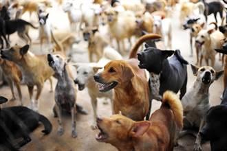 2房間塞滿164隻狗吃不飽 瘦犬「等吃同伴糞便」充飢