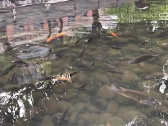 市議員質疑綠川的魚那裡來?水利局:礫間淨水後帶來的魚卵