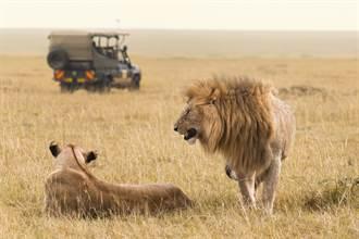 猛獅滿口血淡定坐車內 網嚇壞「駕駛被吃了?」曝真相