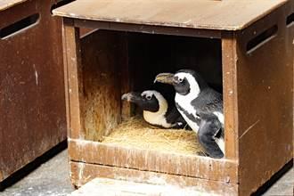 上網花33萬爽買一對企鵝 他一看標籤急報警