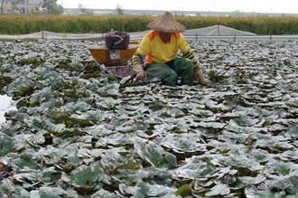 菱角產業缺工沒人剝菱角 農會副產品上市要等等
