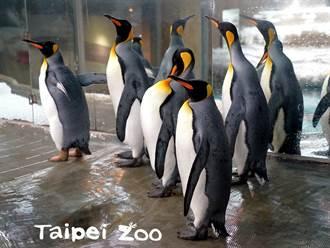 國王企鵝把到妹求偶卻失敗 關鍵時刻愣住原地踱步乾著急