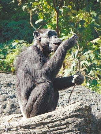 北市動物園猩瑞阿美 51歲病逝