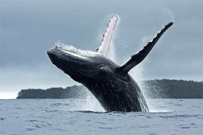 2女划輕艇賞鯨,豈料卻被座頭鯨咬住拋飛(示意圖/達志影像)
