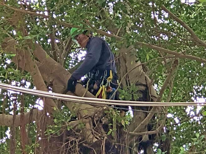 金門縣林務所今年選定50株受保護的老樹,委託台灣專業樹藝師及攀樹師團隊自今(4)日起展開修剪工作。(李金生攝)