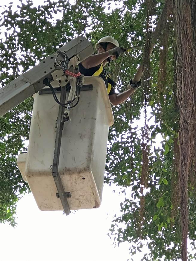 專業團隊替老樹修剪枝條,可避免強風、強雨帶來傾倒的風險。(李金生攝)